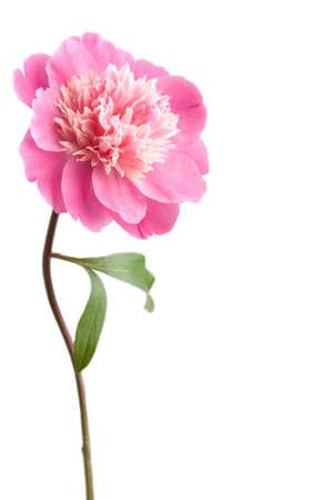 pink peony flower isolated photo
