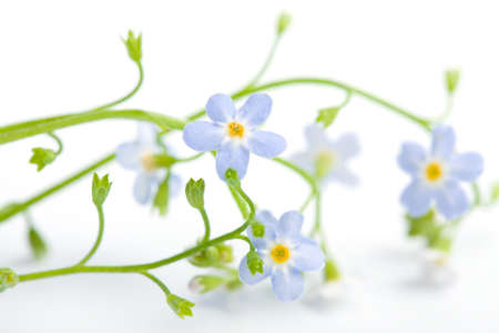forget me not flower isolated (shallow DOF) photo