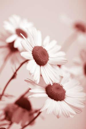 dismal: camomile flowers