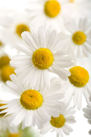 yellow daisy: bouquet of beautiful camomiles isolated