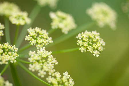 fennel: hinojo flores en el campo