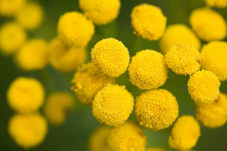 yellow tansy flowers in the field Stock Photo - 4559364