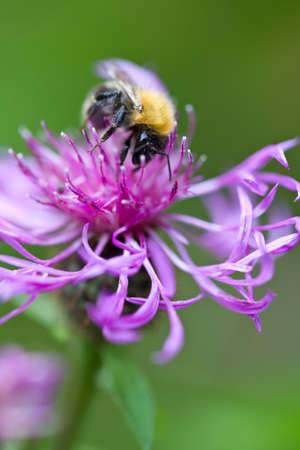 bumblebee on pink flower photo