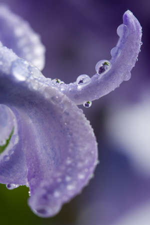 macro of hyacinth petals with water drops