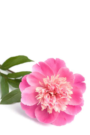 pink peony flower isolated Stock Photo
