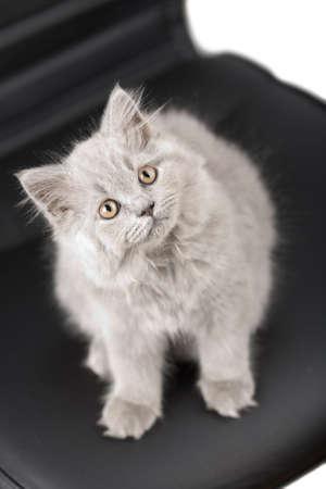 british kitten looking up Stock Photo - 4586522