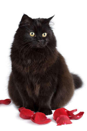 cute black cat sitting in rose petals isolated photo
