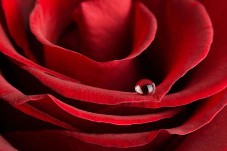 macro of red rose with water drop photo