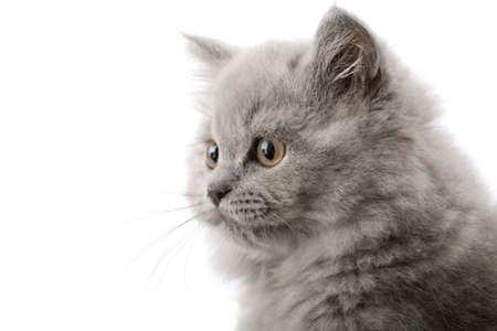 british kitten: excited british kitten isolated