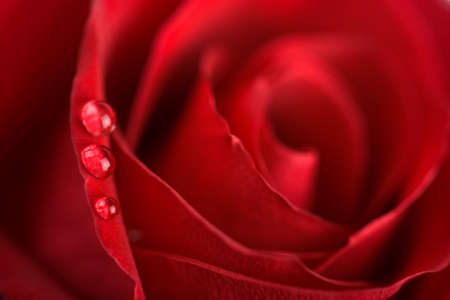 beatuful: beatuful red rose with water droplets (shallow DOF) Stock Photo