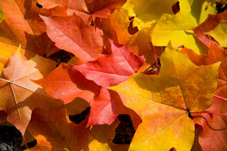 coloful: coloful maple leaves background Stock Photo