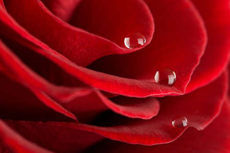 macro of red rose photo
