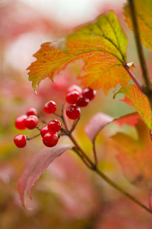 red berries in the autumn forest (shallow DOF) photo