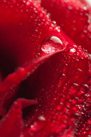 beautiful red rose with water droplets (shallow focus)  photo