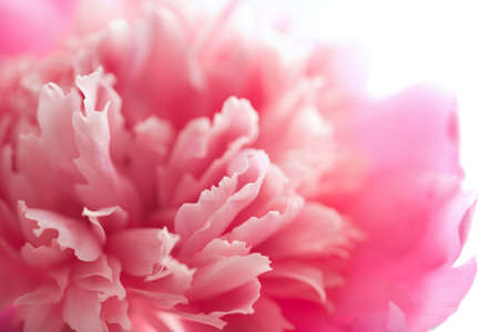 abstract pink peony flower isolated photo
