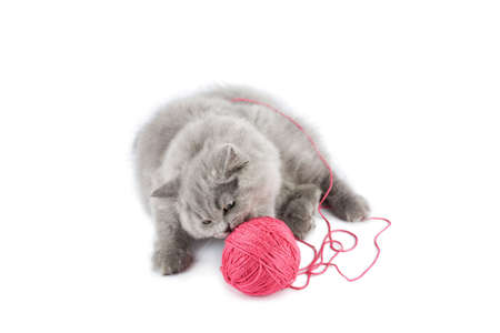clew: british kitten playing with pink clew isolated