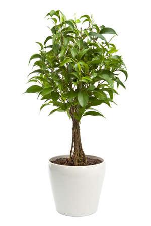 Ficus geïsoleerd