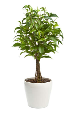 plant pot: ficus isolated