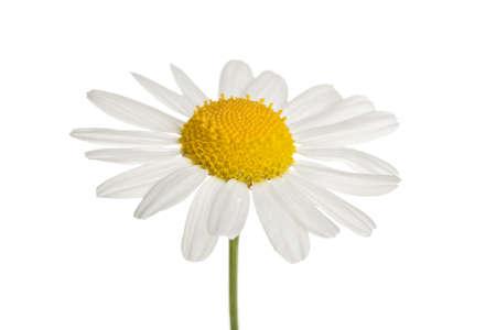 chamomole flower isolated Stock Photo - 6670651