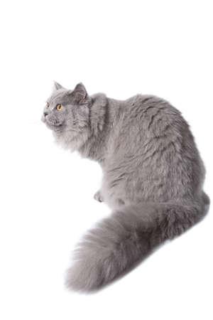 yellow tail: cute british cat isolated