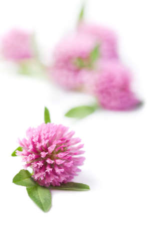red clover: pink clover flowers isolated
