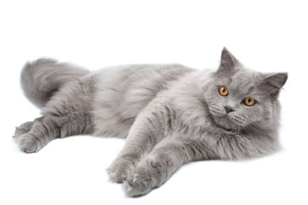 gray cat: lying cute british cat isolated  Stock Photo