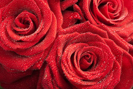 red roses with water droplets photo