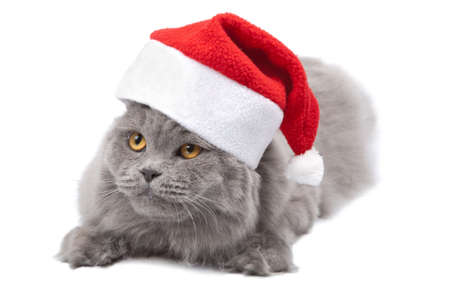 cat in red cap isolated  photo