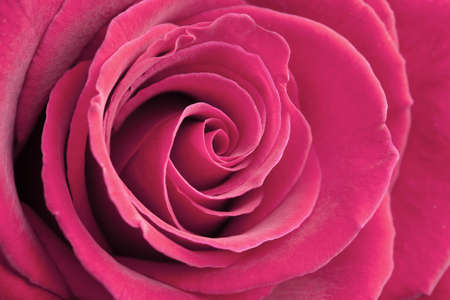 pink rose background photo