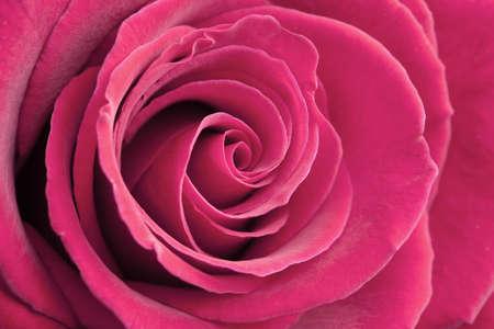 vibrant: pink rose background