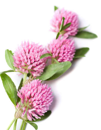clover flowers isolated photo