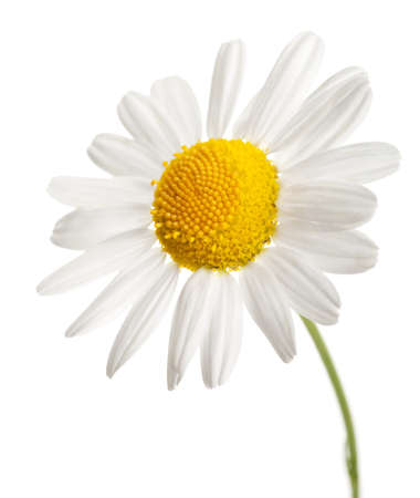 chamomile flower isolated Stock Photo - 8978892