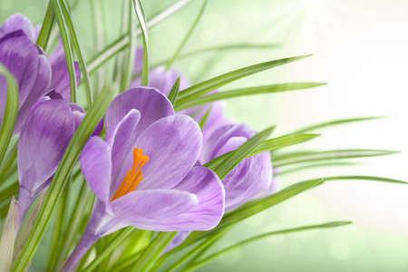 krokus: Crocus bloemen