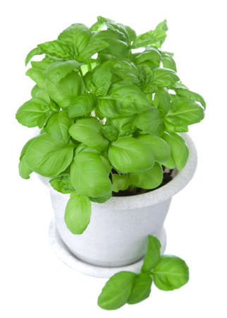 basil in pot isolated photo