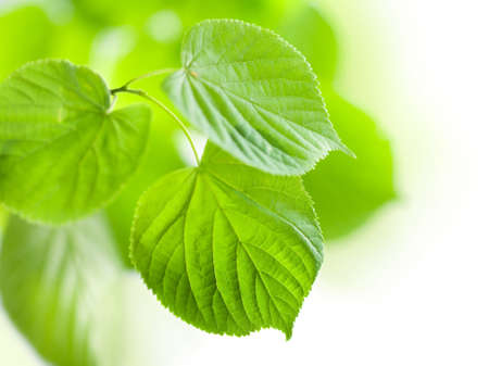 fresh green leaves isolated  photo