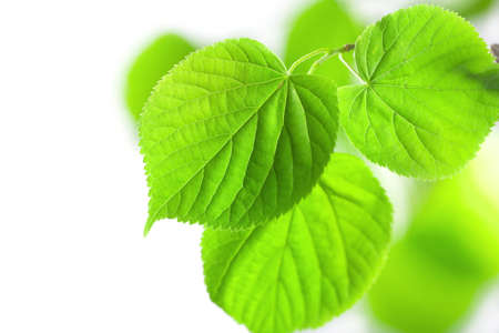 chlorophyll: fresh green leaves isolated  Stock Photo