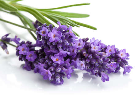 lilac: lavender flower isolated