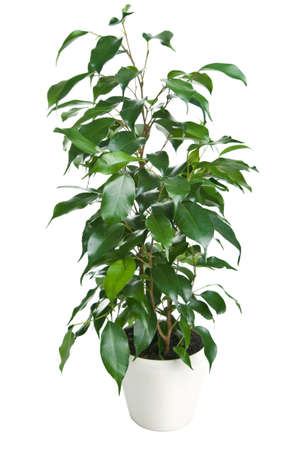 ficus benjamina isolated    photo