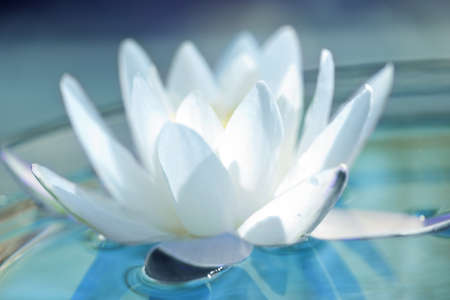 white water lilly  photo