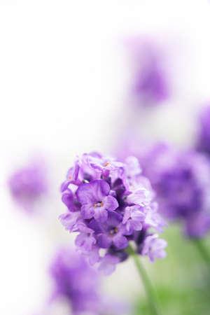 lavanda: flores de lavanda Foto de archivo