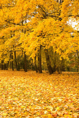 autumn park with yellow maples photo