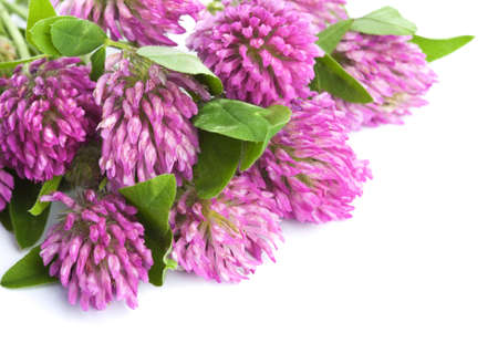 pink clover flower isolated  photo