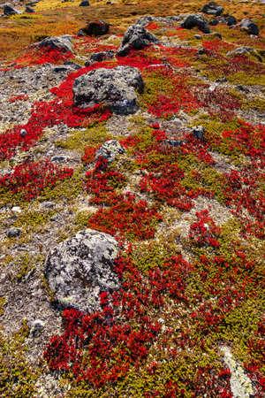 scandinavian landscape: autumn highland plants background in Norway Gamle Strynefjellsvegen