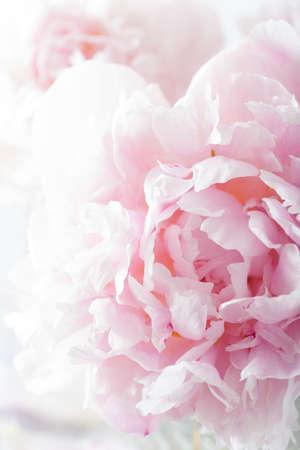 아름다운 분홍색 모란 꽃 배경