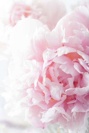 soft colors: beautiful pink peony flower background