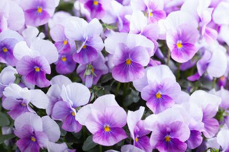 jardines con flores: flores violeta de fondo
