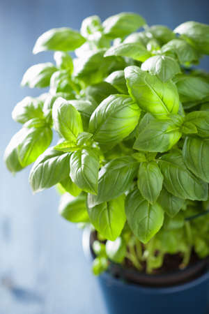 basil: fresh basil herb in a pot