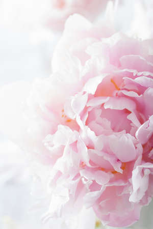 beautiful pink peony flower background Stock fotó - 43494490