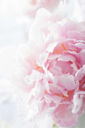 Hermoso fondo de flores de peonía rosa Foto de archivo - 43494490