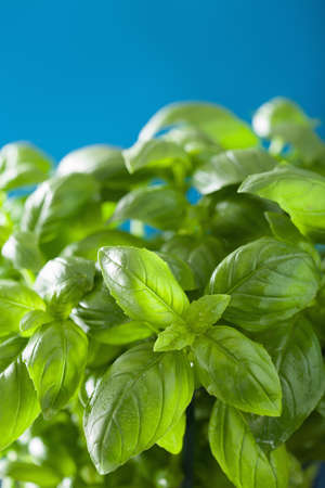 basil herb: fresh basil leaves wet herb background Stock Photo